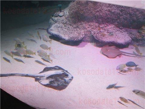 シーライフ名古屋のスティングレイ・ベイ。エイとお魚が泳いでいるゾーン。(SEALIFEレゴランドの水族館)2